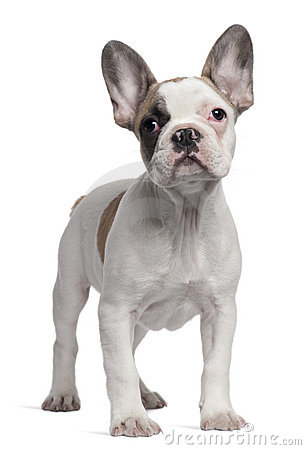 French Bulldog puppy, 3 months old, standing