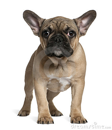 French bulldog puppy, 4 months old, standing