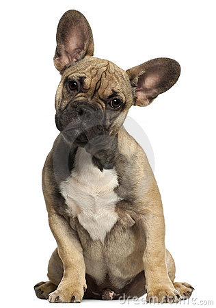 French bulldog puppy, 5 months old, sitting