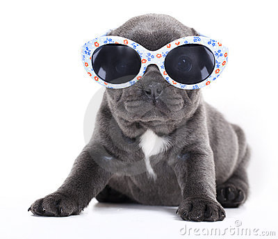 French bulldog puppy french Bulldog puppy in sungl