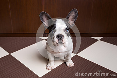 French bulldog puppy at home