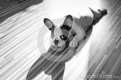 French bulldog puppy with the shadow