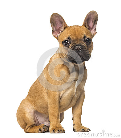 French Bulldog puppy sitting and staring, 4 months old