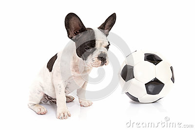 French bulldog puppy with soccer ball