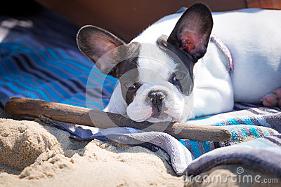 French bulldog puppy with stick