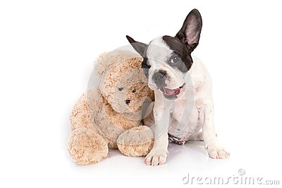 French bulldog puppy with teddy bear