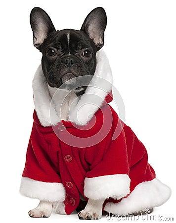 French bulldog puppy wearing Santa outfit