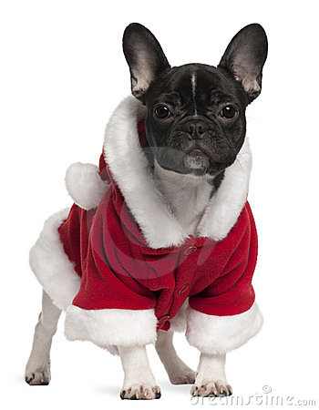 French bulldog puppy wearing Santa outfit