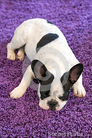 French bulldog sleeping on the carpet