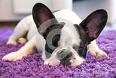 French bulldog sleeping on the carpet