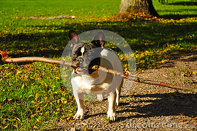 French bulldog with stick