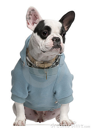French Bulldog wearing blue hooded sweatshirt