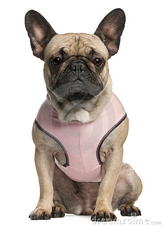 French bulldog wearing pink, 18 months old