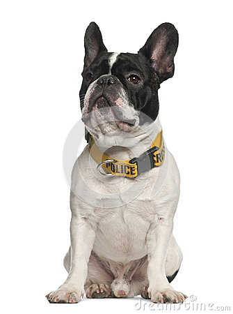 French Bulldog wearing Police collar sitting