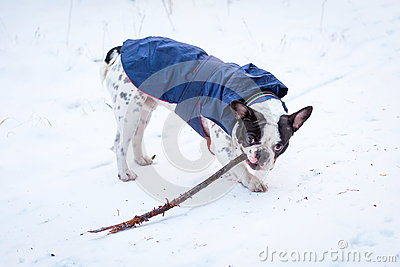 French bulldog in winter jacket