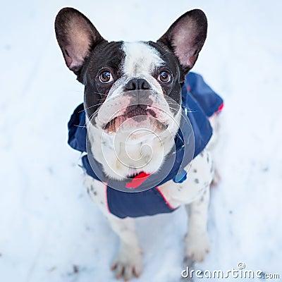 French bulldog in winter jacket