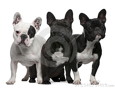 French Bulldogs, 11 months old, 3 and 6 years old,