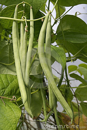 French green beans growing