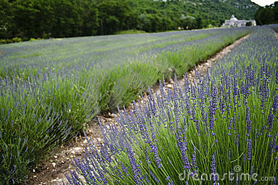 French lavender fields provence france