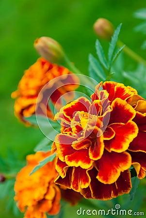 Free French Marigold Stock Image - 16621471