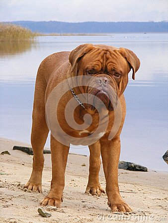 French mastiff at the beach