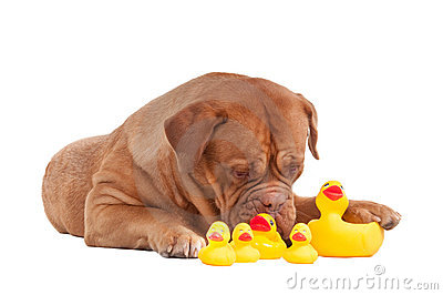 French mastiff playing with plastic duck toys