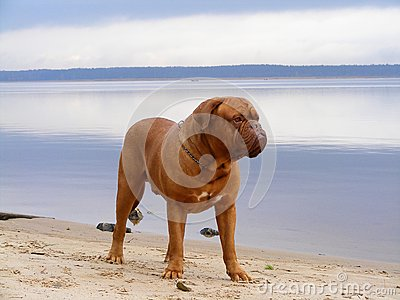 French Mastiff Standing At The Lake Coast Stock Photos - Image: 25919863