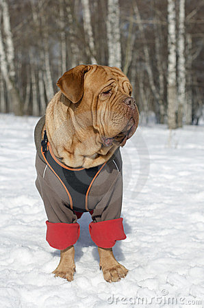 French Mastiff wearing winter coat and harness
