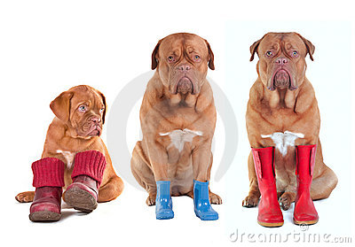 French Mastiffs with boots for all seasons