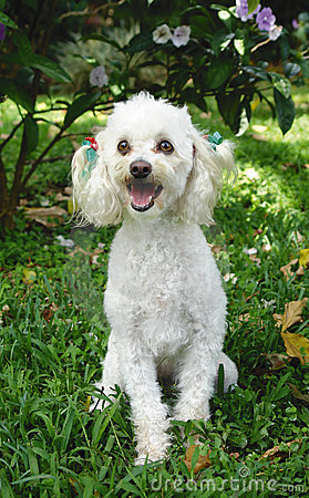 Free French Poodle 4 Royalty Free Stock Photos - 1507358