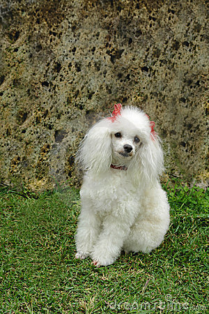Free French Poodle 6 Stock Photography - 1507382