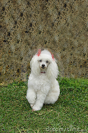 Free French Poodle 7 Royalty Free Stock Images - 1507489