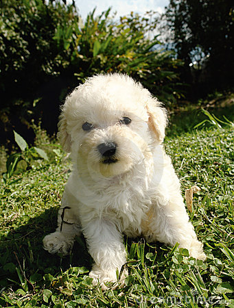 Free French Poodle Puppy Stock Image - 5209011