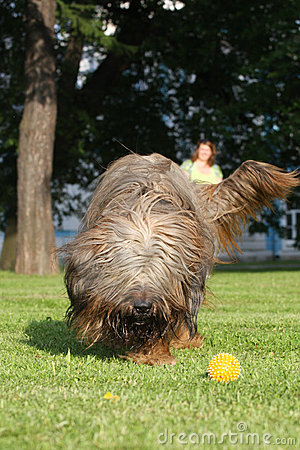 French shepherd briard, ball plaing