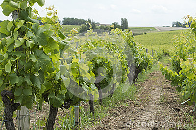 French vineyard