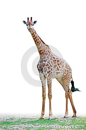 Frente el mirar fijamente de la jirafa