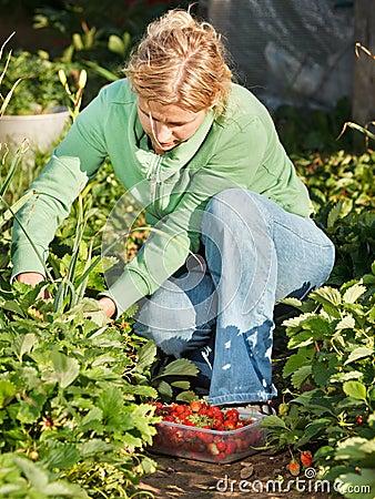 Fresas de la cosecha de la mujer
