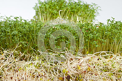 Fresh alfalfa sprouts and cress