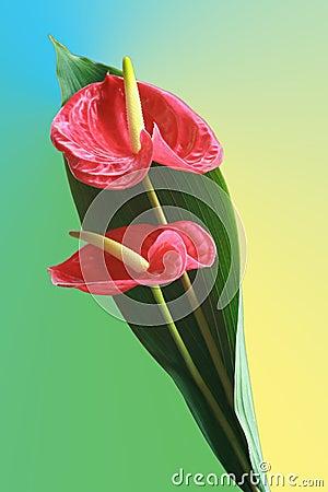 Fresh anthurium flowers