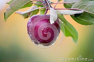 Fresh Apple still on Trees
