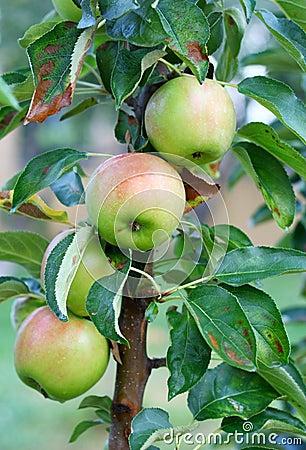 Fresh apples in meadow