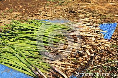 The Fresh Asparagus.