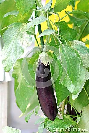 Fresh aubergine on vegetable garden