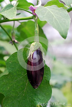 Fresh aubergine on vegetable garden