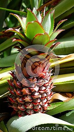 Free Fresh Baby Pineapple On Tree Royalty Free Stock Photos - 22961058