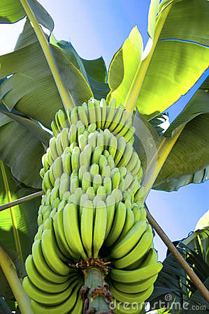 Fresh bananas on a banana plant