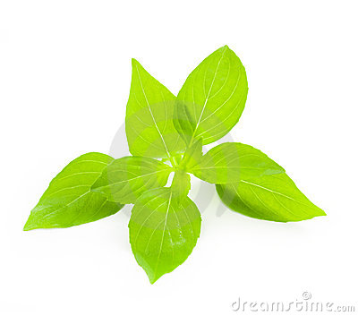 Fresh Basil / close-up on white background