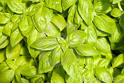 Fresh Basil Herb