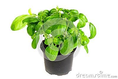 Fresh basil herbs