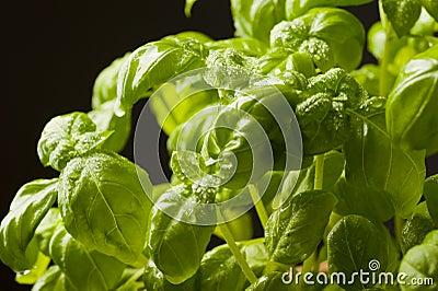 Fresh basil herbs closeup
